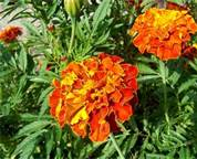 Marigold_French