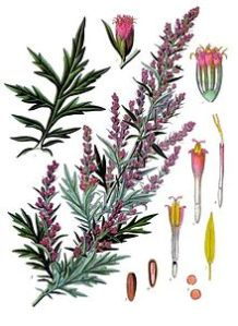 Mugwort_Artemisia_vulgaris
