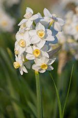 Narcissus_Jonquils