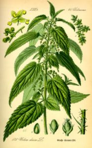 Nettle_Urtica_illustration