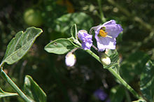 Nightshade-Bluewitch_Solanum_umbelliferum