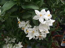 Nightshade-Jasmine_Solanum_jasminoides1
