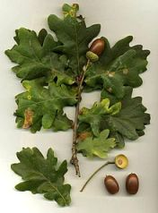 Oak_Quercus_robur