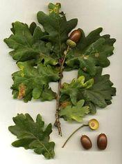 Oak_Quercus_robur