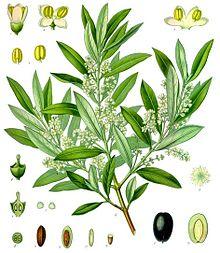 Olive-Tree_Olea_europaea