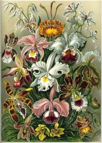 Orchid_Haeckel_Orchidae