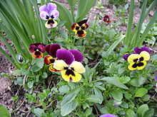 Pansy-Unknown_flower-9