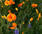 Poppies_California