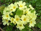 Primrose_Primula-vulgaris