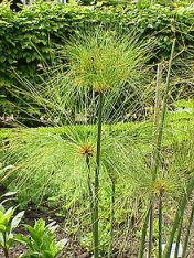 Reed_Cyperus_papyrus