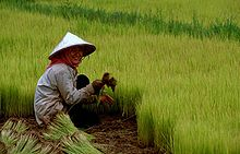 Rice_seedling-bed