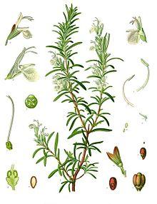 Rosmarinus_officinalis_-_Köhler–s_Medizinal-Pflanzen