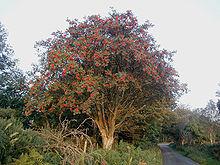 Rowan-tree
