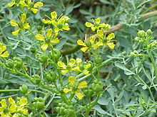 Rue_Common_Ruta_graveolens