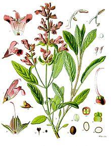 Sage-Salvia_officinalis_-_Köhler–s_Medizinal-Pflanzen