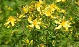 Saint_johns_wart_flowers