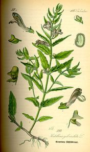 Skullcap-Common_Scutellaria_galericulata_illustration