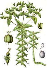 Springwort_Euphorbia_lathyris