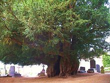 Yew-Estry_Normandy-France